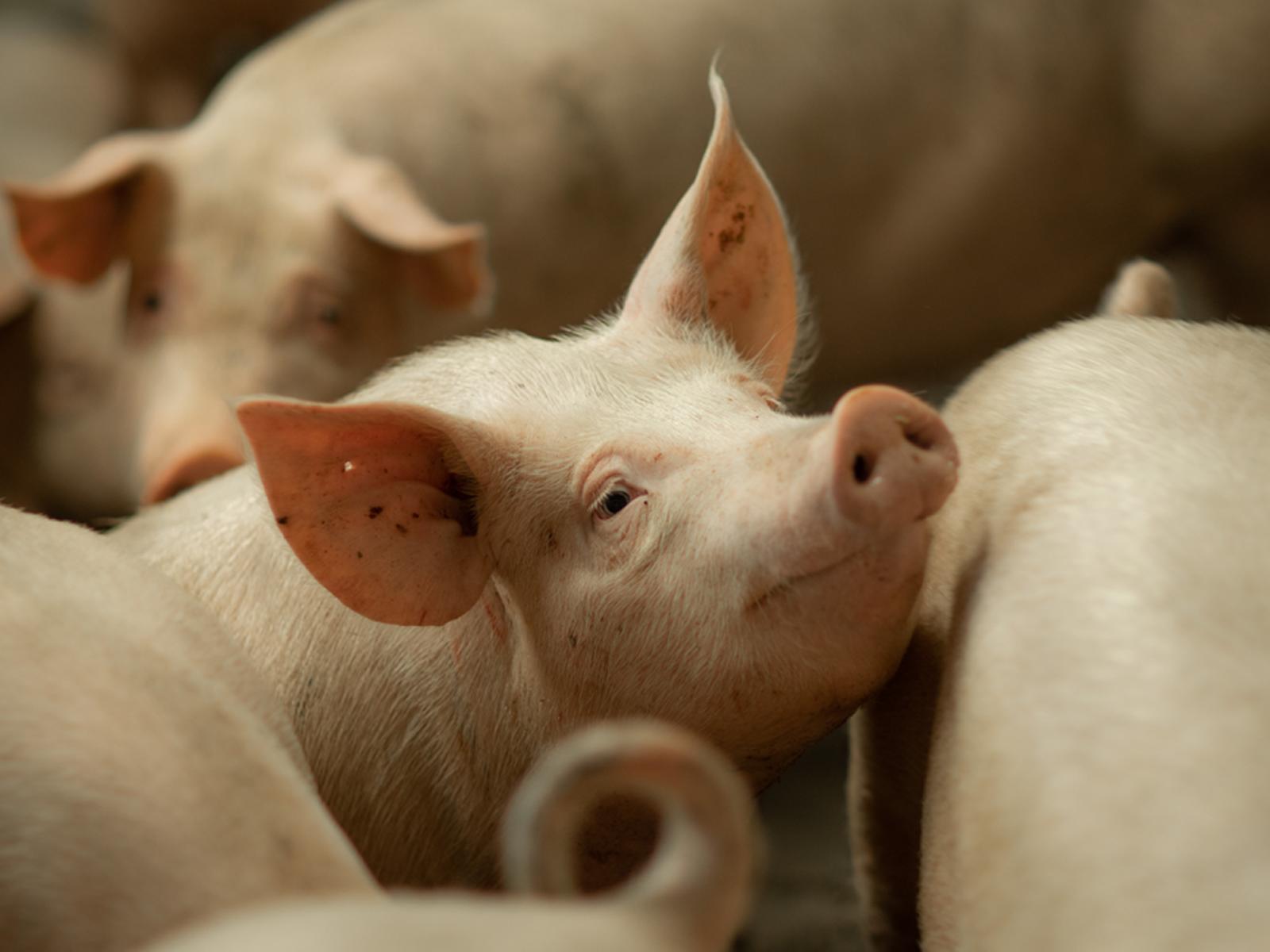 Swine Expert Session